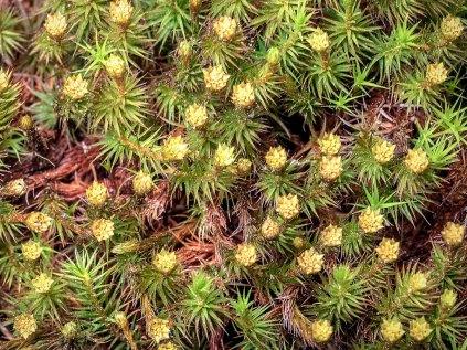Common Haircap Moss (Polytrichum commune) Male Gametophyte