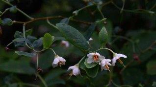 Deerberry (Vaccinium stamineum) Blooms