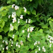 Early Meadow Rue (Thalictrum dioicum) Male Blooms