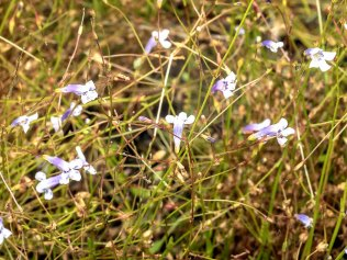 Flatrock Pimpernel (Lindernia monticola)