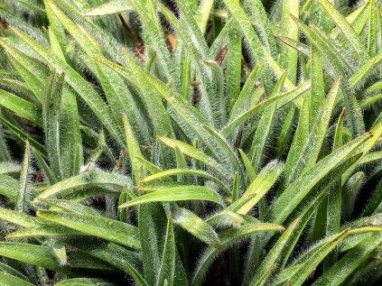 Hairystem Spiderwort (Tradescantia hirsuticaulis)