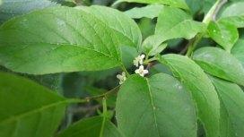 Mountain Holly (Ilex montana) Female Blooms