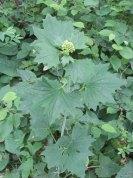 Pale Indian Plantain (Arnoglossum atriplicifolium) Bloom