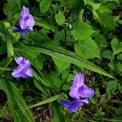 Spiderwort (Tradescantia sp.)