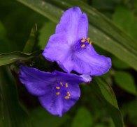 Spiderwort (Tradescantia sp.) Blooms
