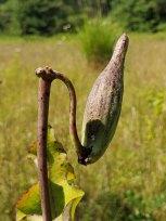 Blunt-leaved Milkweed (Asclepias amplexicaulis) - Follicle