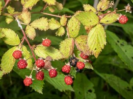 a Raspberry (Rubus sp)