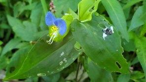 Asiatic Dayflower (Commelina communis)*