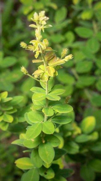 a Bush Clover (Lespedeza sp.)
