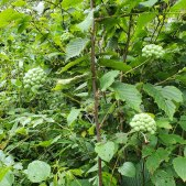 Carrion Flower (Smilax herbacea) Fruit 20210730_121320