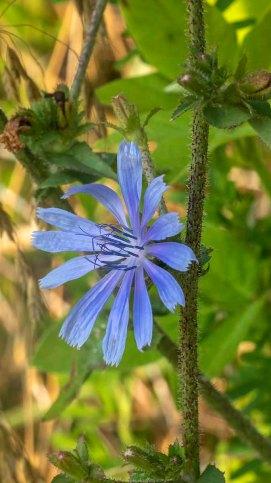 Chicory (Cichorium intybus)*
