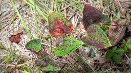 Colorful Smilax Leaves