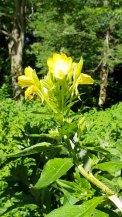 Common Evening Primrose (Oenothera biennis)
