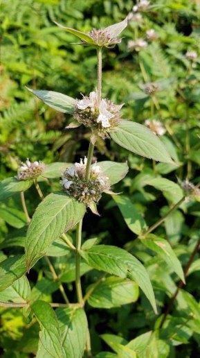 Mountain Mint (Pycnanthemum montanum)