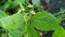 Peruvian Daisy; Quickweed (Galinsoga quadriradiata)*