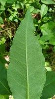 Poke Milkweed (Asclepias exaltata) Leaf Underside