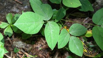 Possibly Pointed-leaved Tick Trefoil (Desmodium glutinosum)