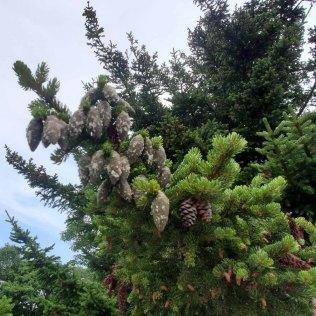 Red Spruce (Picea rubens) Cones