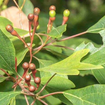 Sassafras (Sassafras albidum) Fruit