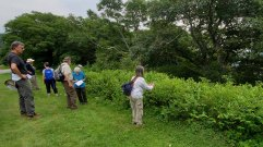 Admiring the Spreading Dogbane Hedge (Apocynum androsaemifolium)