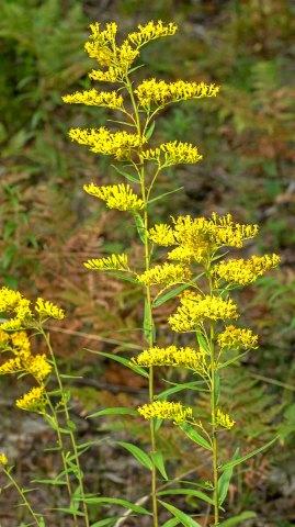 Sweet Goldenrod (Solidago odora)