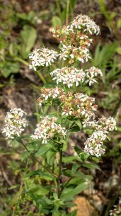 Toothed White-topped Aster (Sericocarpus asteroides)