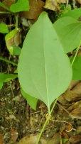 Whiteleaf Greenbrier (Smilax glauca) Leaf Underside