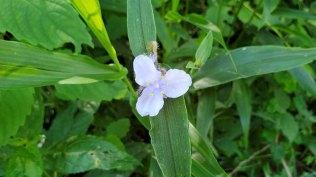 Zigzag Spiderwort (Tradescantia subaspera)