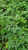 American Lovage (Ligusticum canadense) Plant