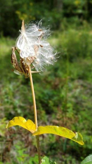 Blunt-leaved Milkweed (Asclepias amplexicaulis)