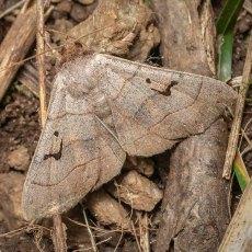 Brown Panopoda Moth (Panopoda carneicosta)