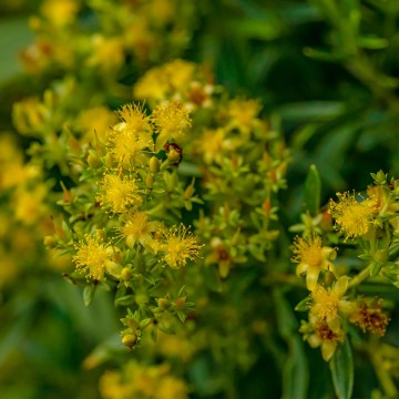 Bushy St. John's-wort (Hypericum densifolium)
