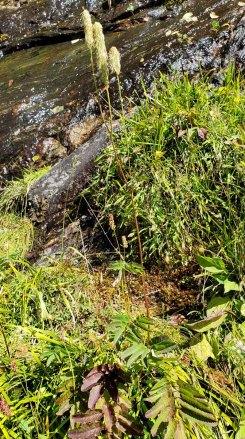 Canadian Burnet (Sanguisorba canadensis)