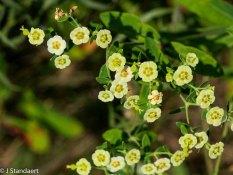 Flowering Spurge (Euphorbia corollata) Cream form