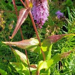 Foxglove Beardtongue; White Beardtongue (Penstemon digitalis) Leaves