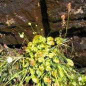 Grass-of-Parnassus (Parnassia asarifolia) & Sticky Asphodel (Triantha glutinosa)