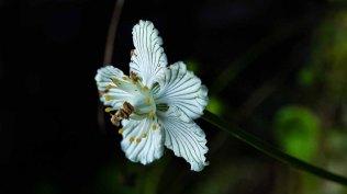 Grass-of-Parnasus (Parnassia asarifolia)
