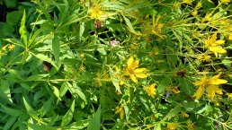Greater Tickseed (Coreopsis major)