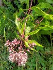 Hollow-stem Joe-Pye-Weed (Eutrochium fistulosum)