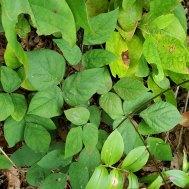 Naked-flowered Tick Trefoil (Desmodium nudiflorum) Leaves