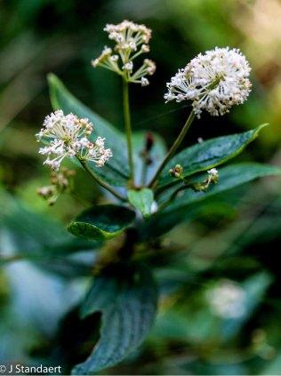 New Jersey Tea (Ceanothus americanus)