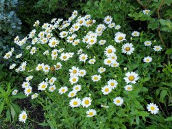 Ox-eye Daisy (Leucanthemum vulgare)*