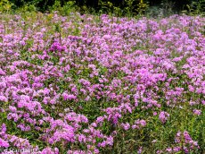 A Bunch of Phlox in the Meadow