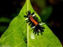 Milkweed Tussock Moth (Euchaetes egle)