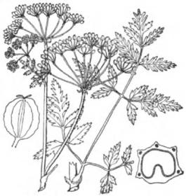 Poison Hemlock (Conium maculata)