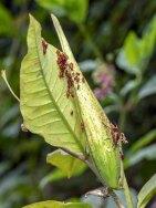 Poke Milkweed (Asclepias exaltata) & Large Milkweed Bug (Oncopeltus fasciatus)