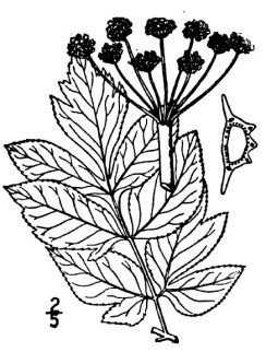 Purple Angelica (Angelica atropurpurea)