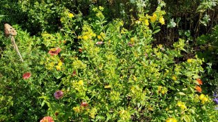 Shrubby St. John's-wort (Hypericum prolificum)