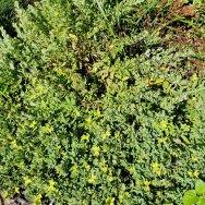 St. Andrew's Cross (Hypericum hypericoides ssp. hypericoides)
