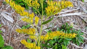 Sweet Goldenrod (Solidago odora) 20210812_151052